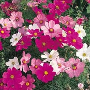 Bedding Plants - Cosmos Apollo Mixed