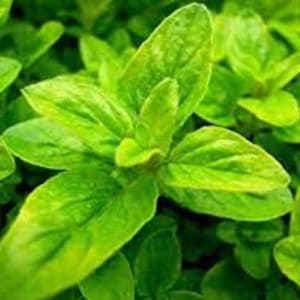 Herbs - Oregano – French Golden