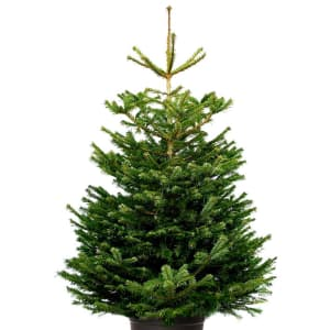 Nordmann Fir: cut trees 5-6ft