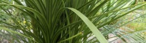 Shrubs - Cordyline Australis