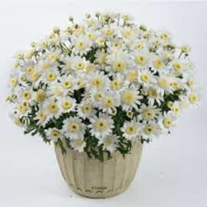 Pot Bedding - Argyranthemum Angelic Snow