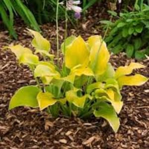 Perennials - Hosta 'Lakeside Cha Cha'
