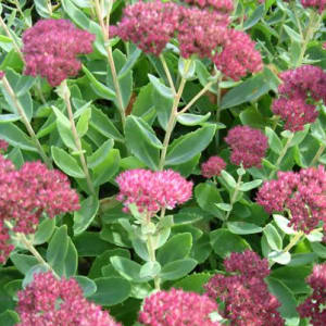 Perennials - Sedum Spectabile 3L pot.