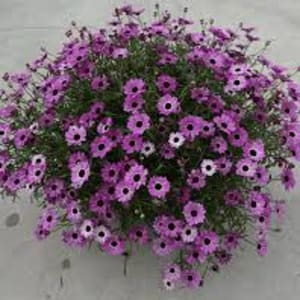 Pot Bedding - Argyranthemum Grandaisy Pink Tourmaline