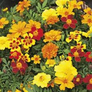 Bedding Plants - French Marigolds Bonanza mixed