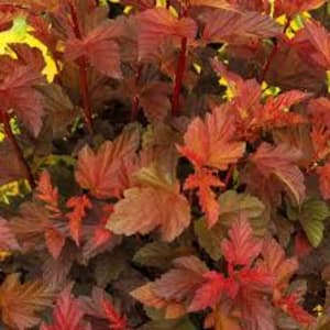 Shrubs - Physocarpus Brown Sugar