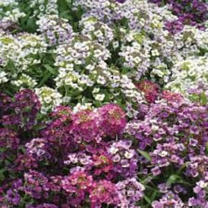 Bedding Plants - Alyssum Golf Bright mixed