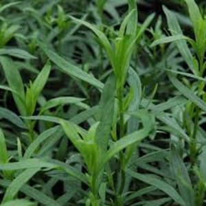 Herbs - Tarragon – French