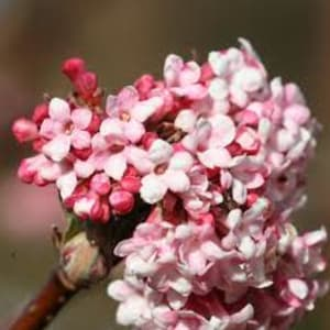 Shrubs - Viburnum x bodnantense 'Dawn'