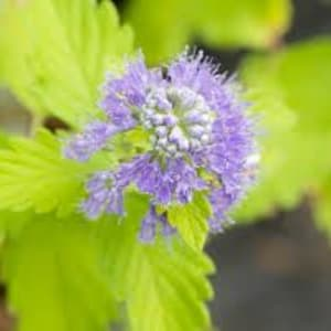 Shrubs - Caryopteris 'Hint of Gold'