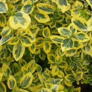 Shrubs - Euonymous Emerald 'n Gold