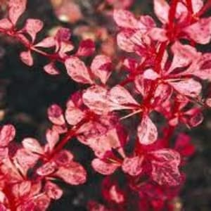 Shrubs - Berberis thunbergii 'Pink Queen'