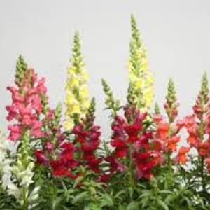 Bedding Plants - Antirrhinum Mixed
